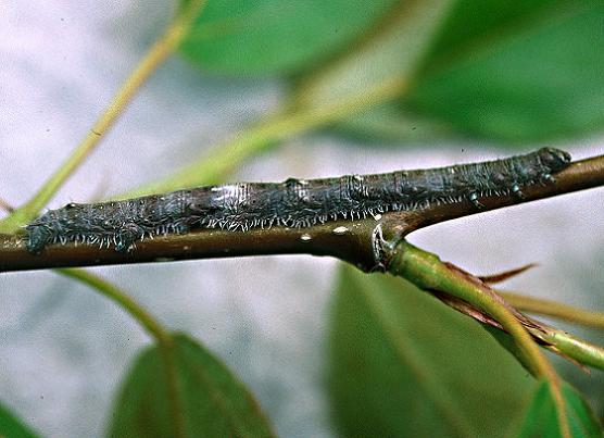 Pale Beauty or Fringed Looper Larva, 5th instar - Campaea perlata