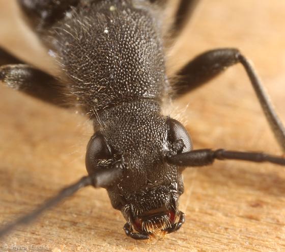 longhorn beetle - Anastrangalia laetifica