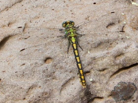 Arizona Snaketail - Ophiogomphus arizonicus - female