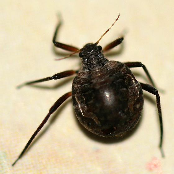 Large fat black aphid - Cinara