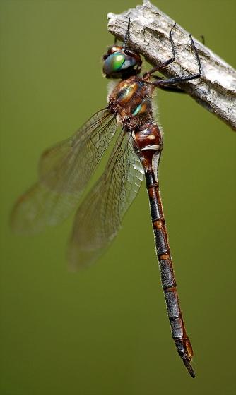 Incurvate Emerald New Scotland Bog - Somatochlora incurvata - female