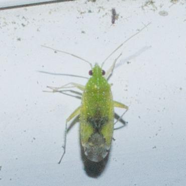 Green plant bug - Keltonia