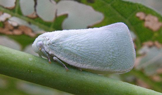 Flatid Planthopper - Flatormenis proxima