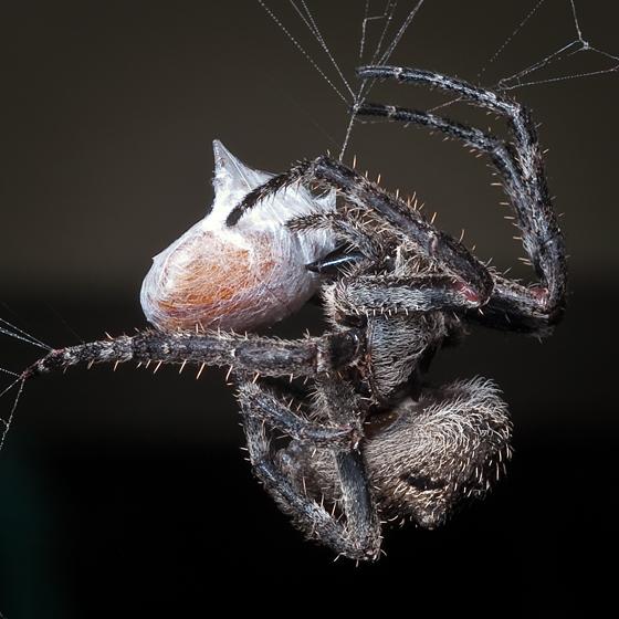 Ms A bites beetle - Araneus andrewsi - female