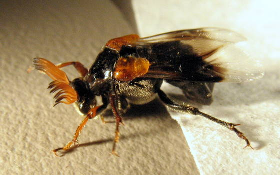 Flabellate antennae - Ripiphorus diadasiae - male