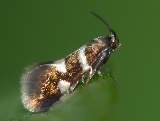 Moth - Antispila