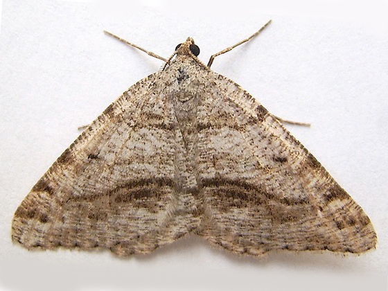 Geometrid Moth - Macaria decorata - female