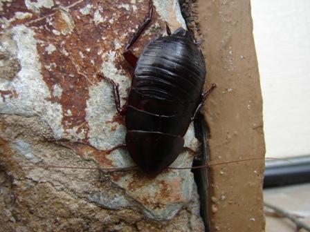 Mega-roach - Eurycotis floridana