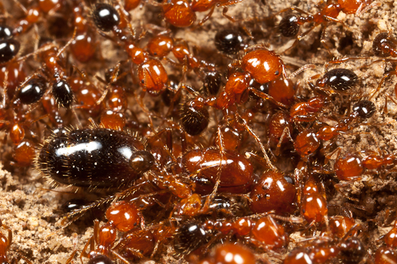 Southern Fire Ants? - Solenopsis xyloni