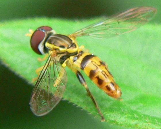 Syrphid Fly - Toxomerus geminatus - male