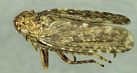 Ankosus filamentus - male