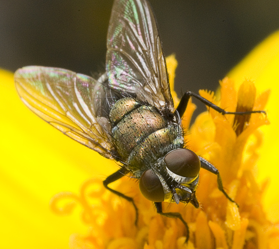 unknown fly - Lucilia cuprina