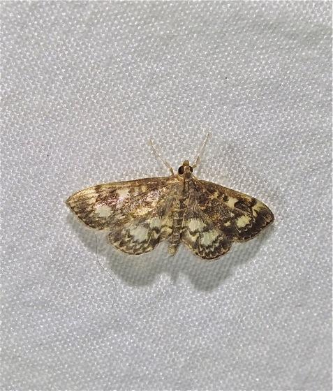 Moth - Anania plectilis