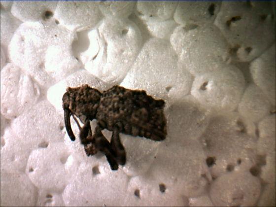 Weevil - Sthereus quadrituberculatus