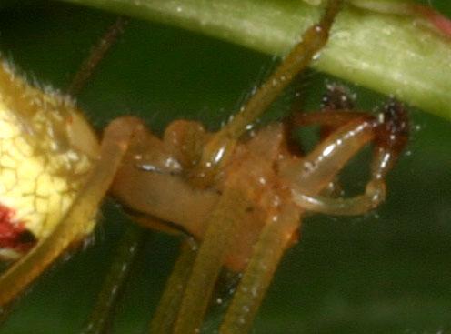 Spider Sp888 - Enoplognatha ovata