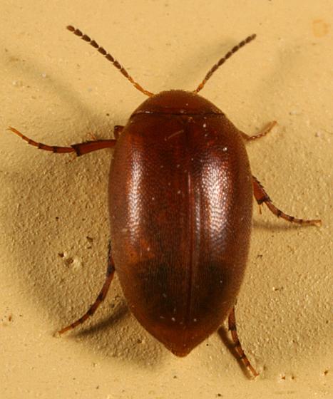 beetle - Nycteus testaceus