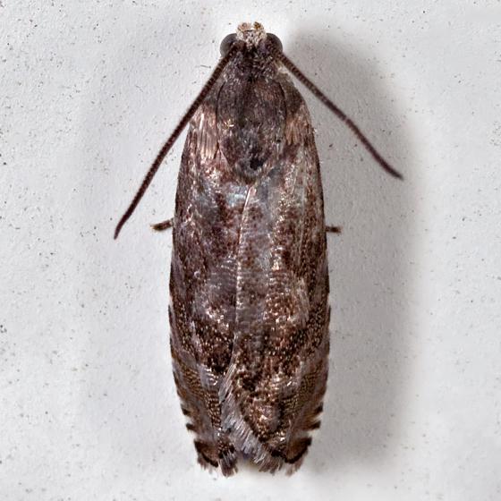Pea Moth - Cydia nigricana