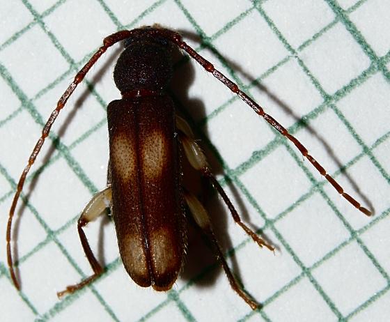 Cerambycidae? - Tylonotus bimaculatus