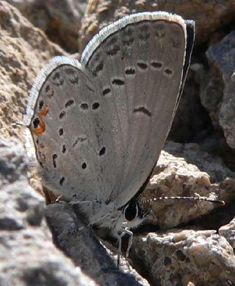 Eastern Tailed-Blue - Cupido comyntas - female