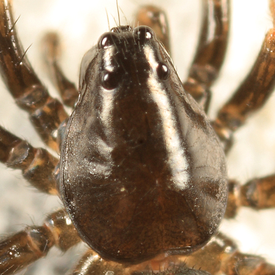spider - Allocosa funerea