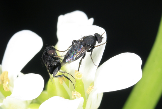 Fly - Phora - male - female