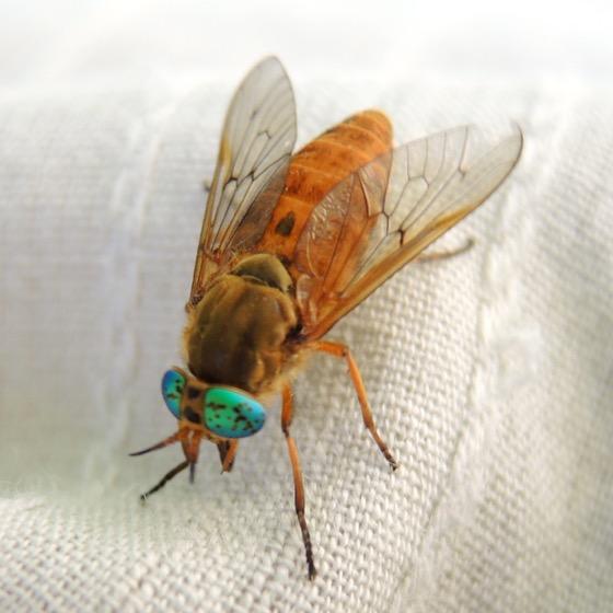 Deer Fly 2 - Silvius gigantulus