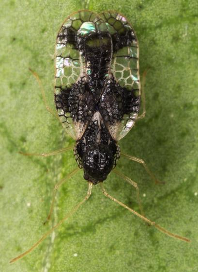 Lace Bug - Stephanitis takeyai