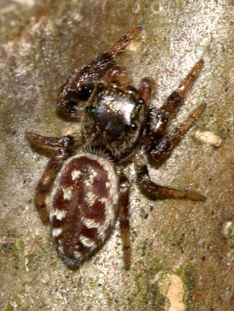 jumping spider - Eris flava - female