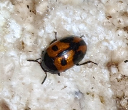 Unidentified copper-colored, spotted beetle - Diaperis maculata