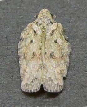 Unknown Tortricid - Flataloides signata
