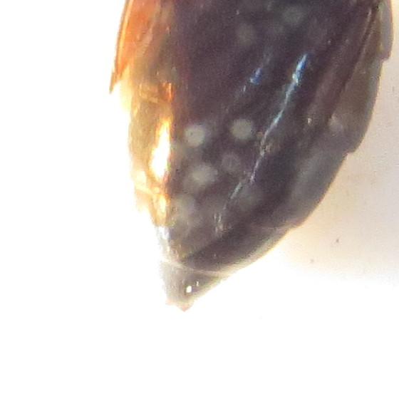 Prioniyx atratus or subatratus? - Prionyx - female