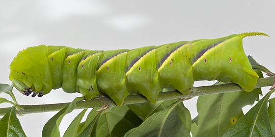 Rustic Sphinx - Manduca rustica