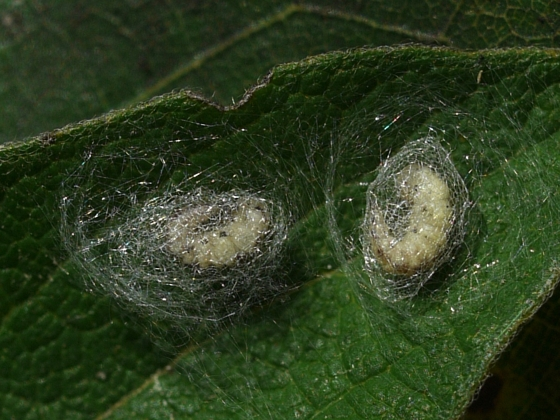 Brown Lacewing larvae - September 1 - Hemerobius humulinus