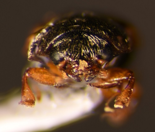 Another Carpophilus sp.? - Nitops pallipennis