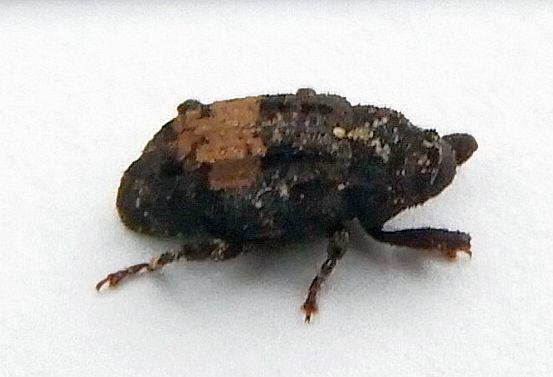 Pennsylvania Beetle  - Cophes obtentus