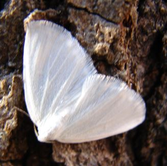 Small Pure White Geometrid Moth - Lomographa vestaliata