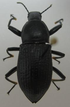 Darkling Beetle? - Polopinus