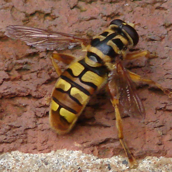 Is this a bee, fly or moth? - Milesia virginiensis