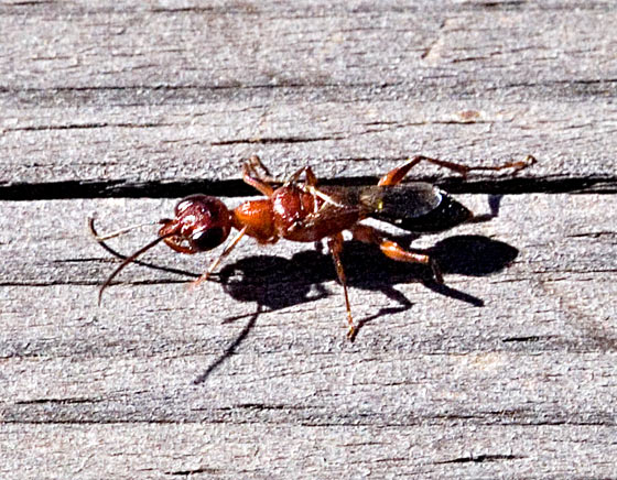 Cockroach Wasp - Ampulex ferruginea