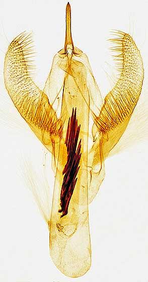 genitalia - Cabera erythemaria - male