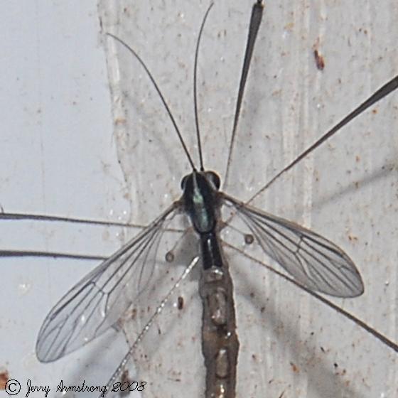 Phantom Crane Fly - Bittacomorpha clavipes