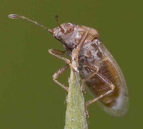Tiny True Bug - Cymus discors