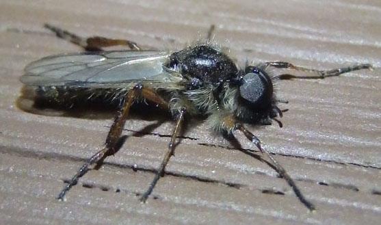 unknown fly - Bibio xanthopus - male