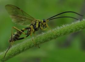 unk Hymenopteran - Banchus