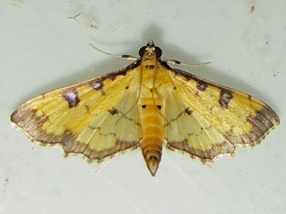 Two-spotted Crambid - Ategumia ebulealis