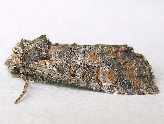 Brachylomia sierra