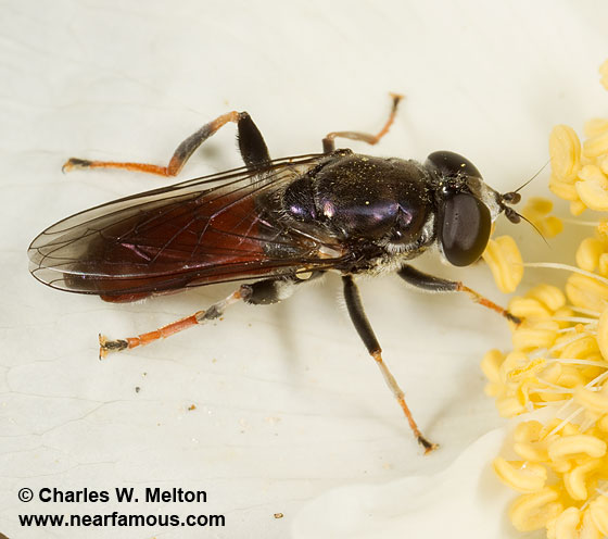 Syrphid - Xylota flavitibia - female