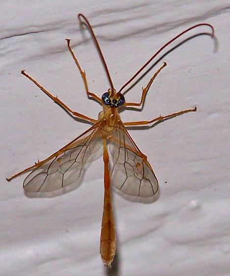 Enicospilus guatamalensis - Enicospilus guatemalensis