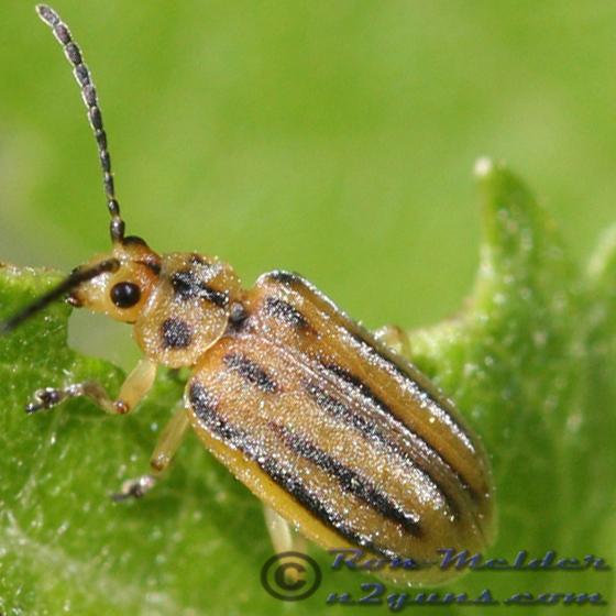 Leaf Beetle - Ophraella notata