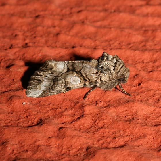 unknown - Hadena capsularis